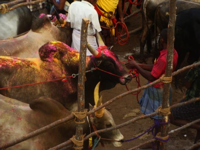 Le Jalli kattu : des cowboys pas si « peace » que ça…