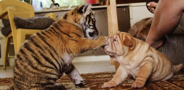 Inde : louez un tigre !