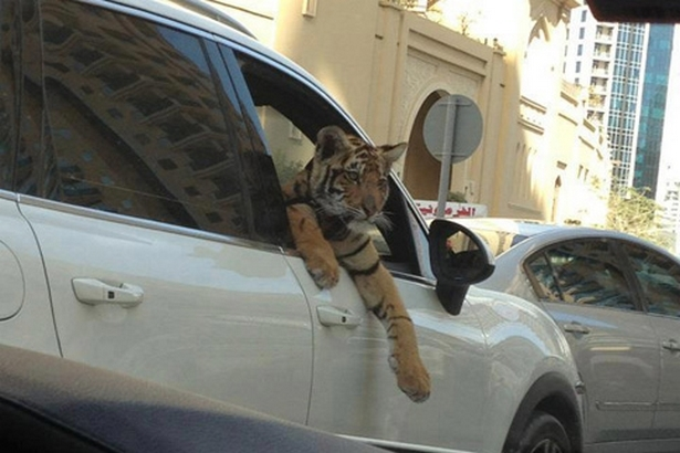 Tigre dans un véhicule en pleine Marina Promenade à Dubaï | DR/réseaux sociaux