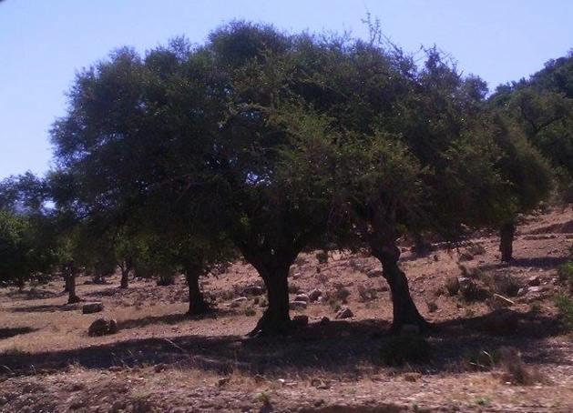 Argânia à beira da estrada – Crédito Carolina Duarte de Jesus