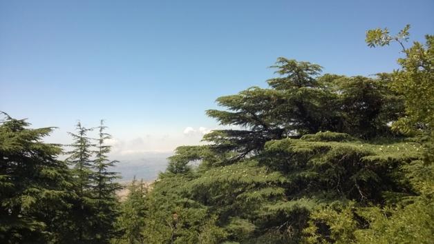Le Cèdre du Liban, Réserve naturelle du Shouf - Crédit Salomé Ietter