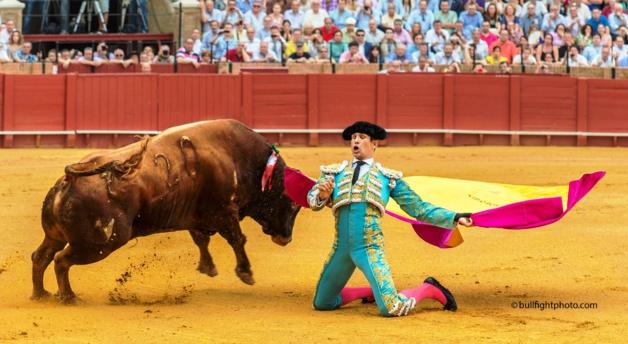 José Maria Manzanares fils, dans la position à genou appelée « a porta gayola » lors de la « feria de San Miguel » dans les arènes de Séville en septembre 2012 – Crédit  bullfightfhoto.com