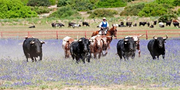 Elevage taurin de la « ganadería » Torrestrella situé à Medina Sidonia dans la province de Cadix en Andalousie – Crédit EFE