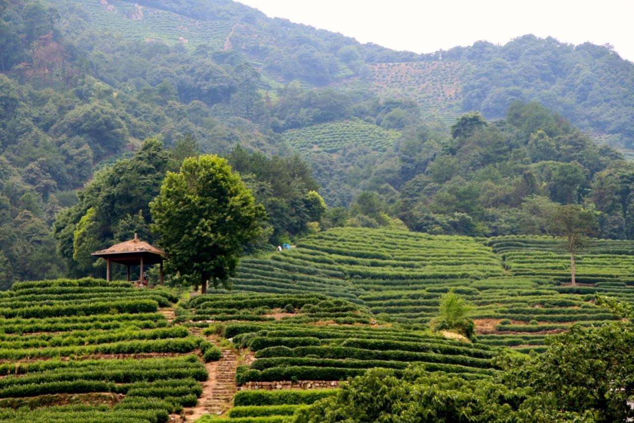 Plantations du thé vert à Longjing- Crédit Eugénie Rousak