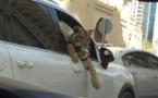 Dubaï : les animaux sauvages envahissent les rues